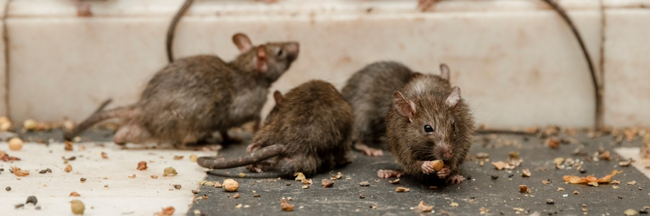 15 Proven Way on How to Get Rid of Rats on a Farm