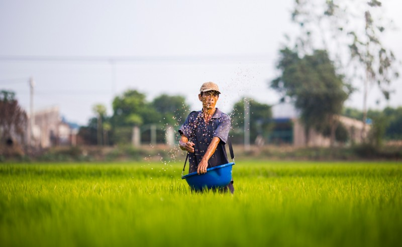 Sowing rice
