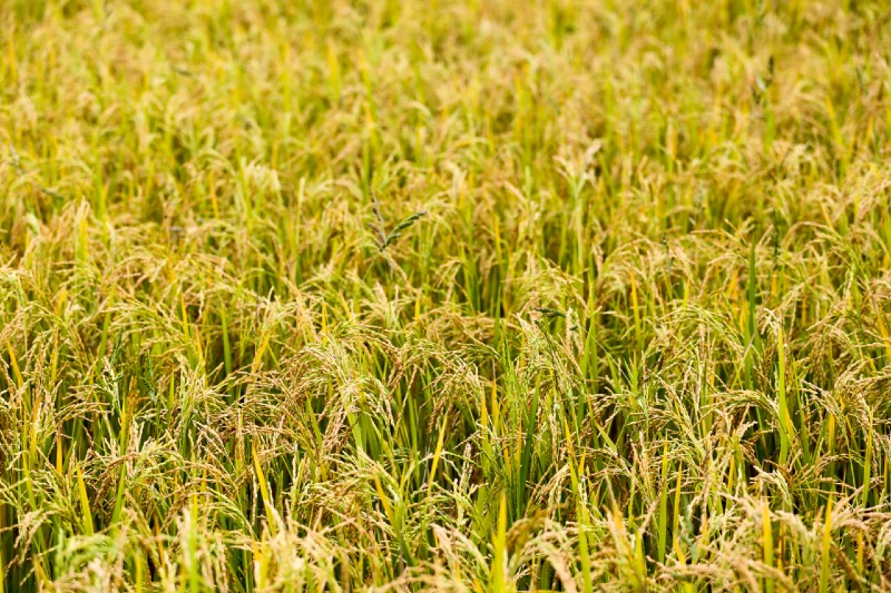 How Is Rice Grown? Explained in Details