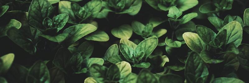 Basil 10 Most Profitable Herbs to Grow