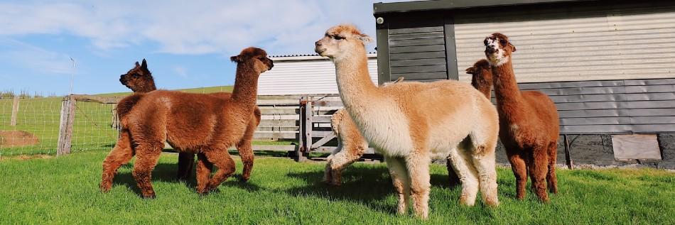 Alpaca Farm: Everything you need to know