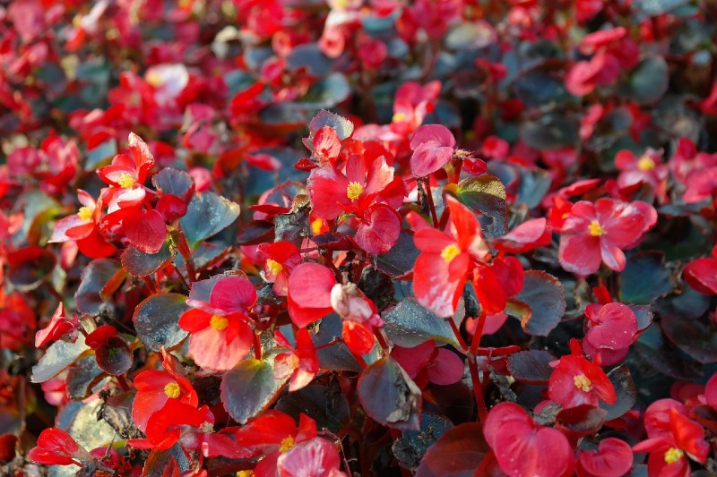 Begonias 15 Best Flowers to Grow in Your Vegetable Garden - And Why
