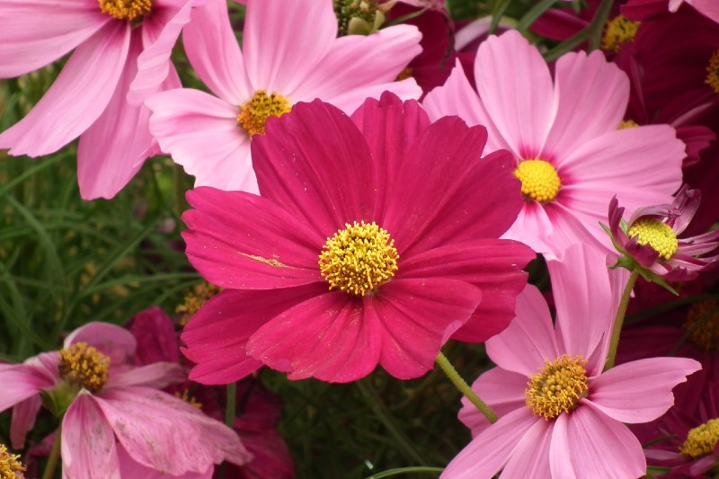 Cosmos 15 Best Flowers to Grow in Your Vegetable Garden - And Why