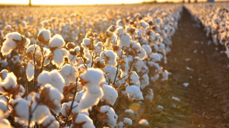 How to Grow Cotton: Everything you need to know