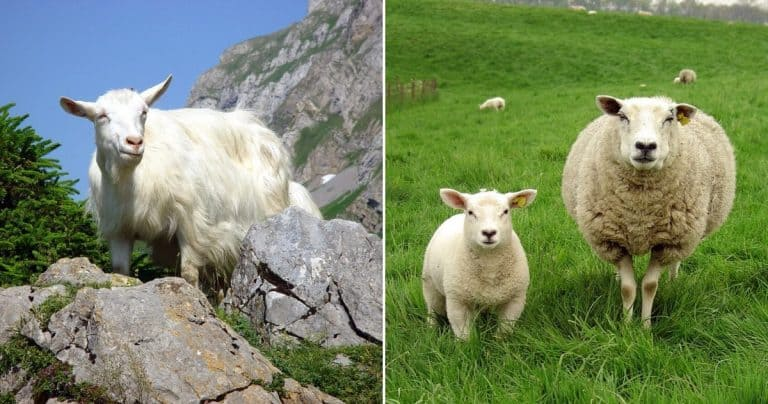 Why Are Sheep More Popular Animals to Farm Than Goats?