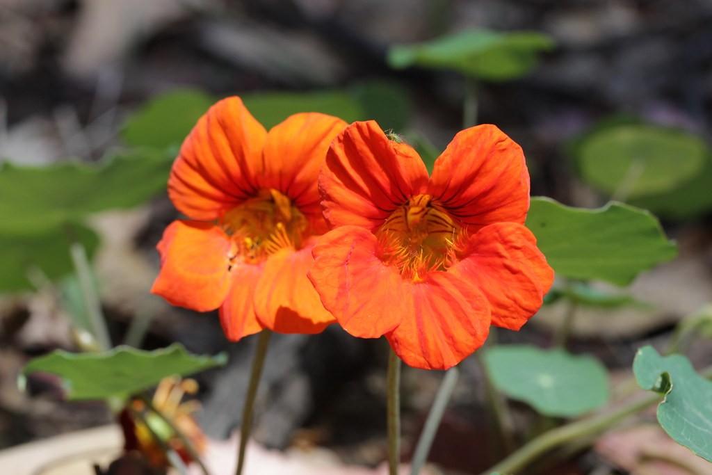 Garden nasturtium 15 Best Flowers to Grow in Your Vegetable Garden - And Why
