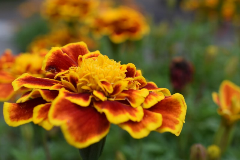 Marigold 15 Best Flowers to Grow in Your Vegetable Garden - And Why