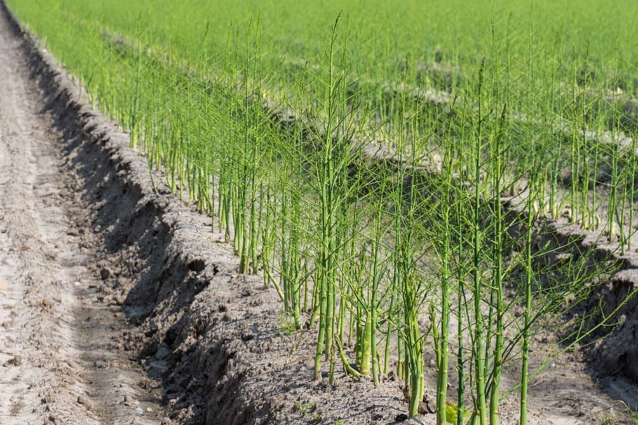 How to Grow Asparagus: Planting, Growing, Harvesting and More