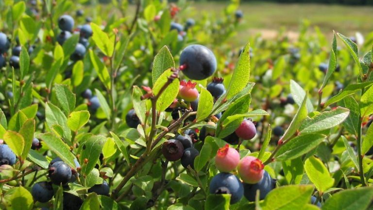 Blueberry Farm Growing: Everything You Need to Know