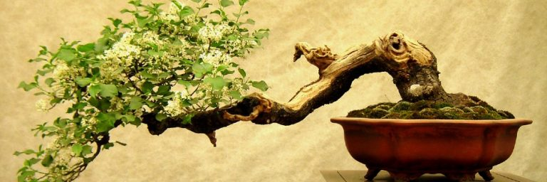 How to Grow a Bonsai Tree for Beginners? [Step by Step Guide]