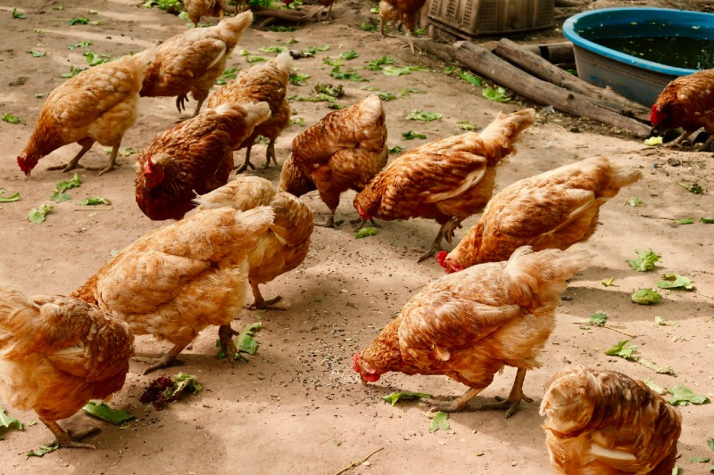 How to Choose and Breed Chickens - Tips for Beginners