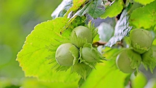 European Hazelnut