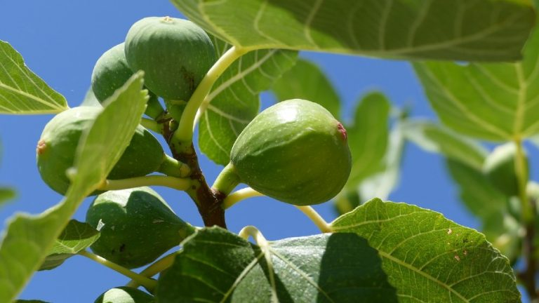 How to Grow a Fig Tree? [Everything You Need to Know]