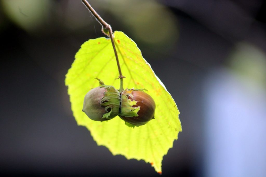 How to Grow Hazelnuts - Everything you need to know