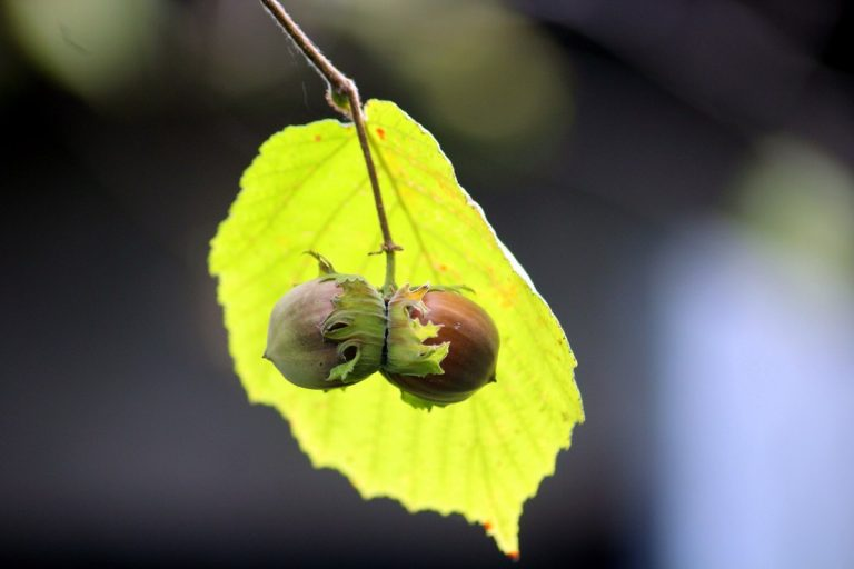 How to Grow Hazelnuts – Everything you need to know