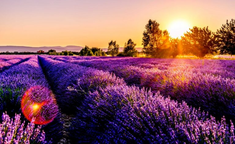 How to Grow Lavender: Everything You Need to Know