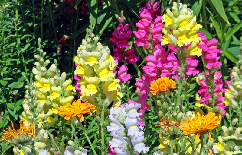 Snapdragons 15 Best Flowers to Grow in Your Vegetable Garden - And Why