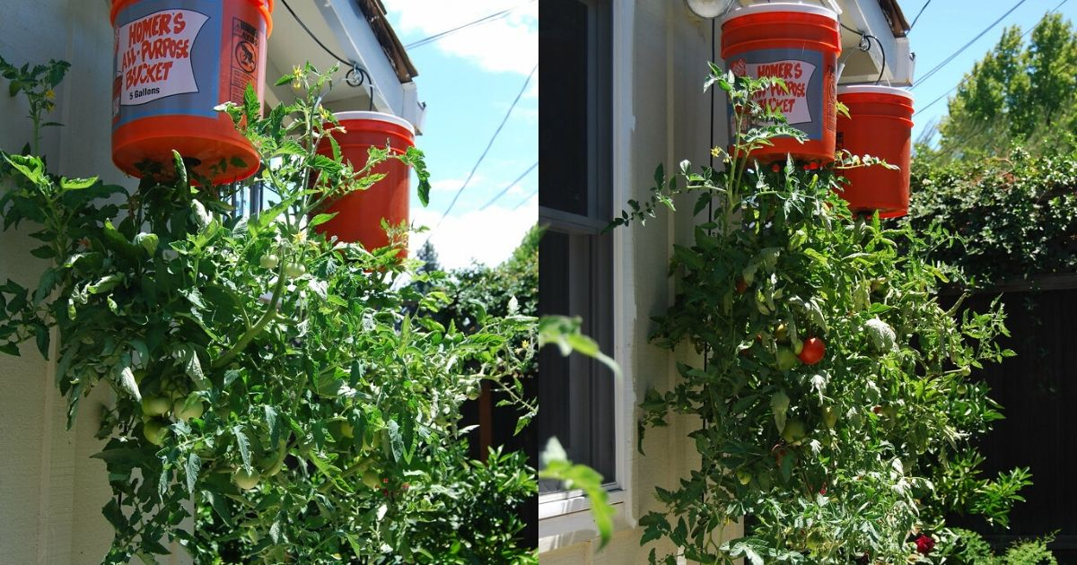 Growing Tomatoes Upside Down: Everything You Need To Know