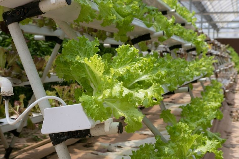Hydroponic Lettuce Farming: How to Start, Grow, Space and Cost