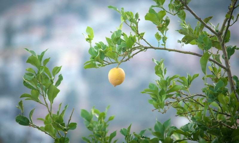 Growing Lemons: Cultivation, Fertilization, Varieties, Planting, Harvesting and More
