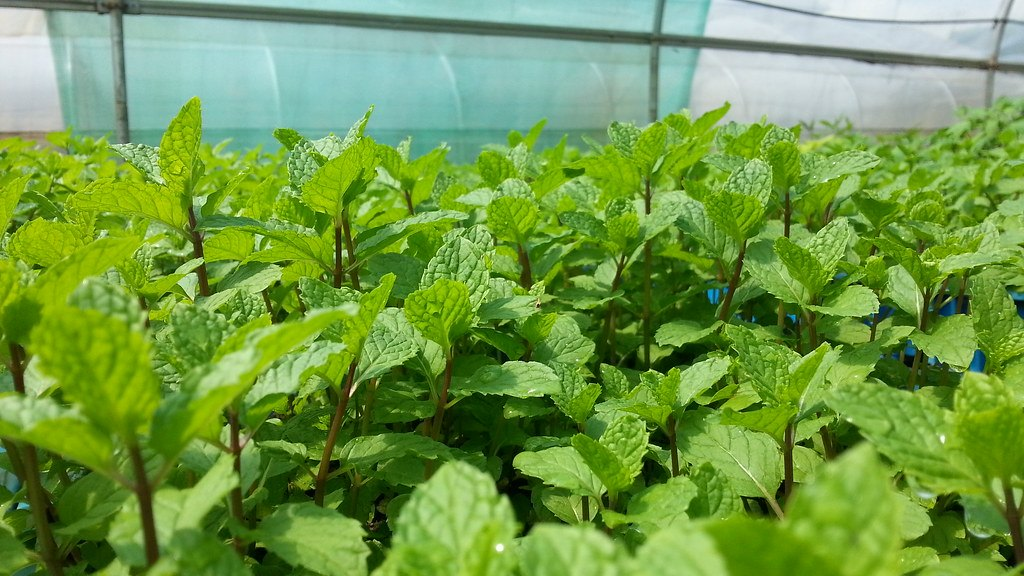 Growing Mint: Planting, Cultivation, Harvesting, Types and More