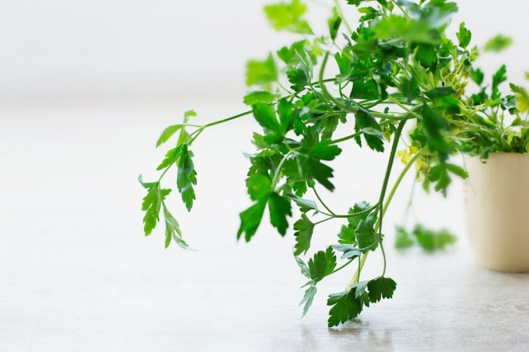 Growing Parsley Indoors and Outdoors: Everything You Need to Know