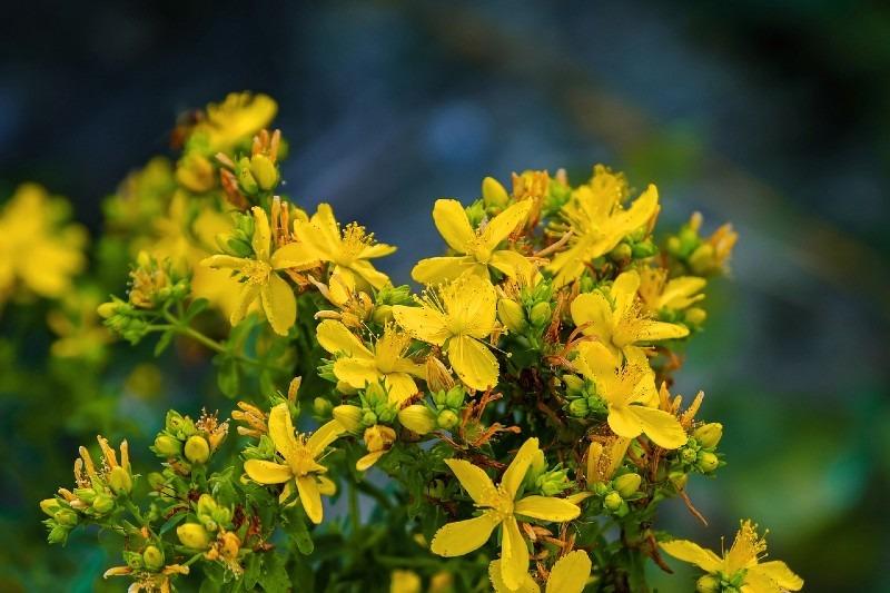 St John's wort 10 Most Profitable Herbs to Grow