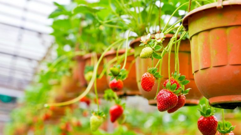 Growing Strawberries Indoors (From Pots or Containers)