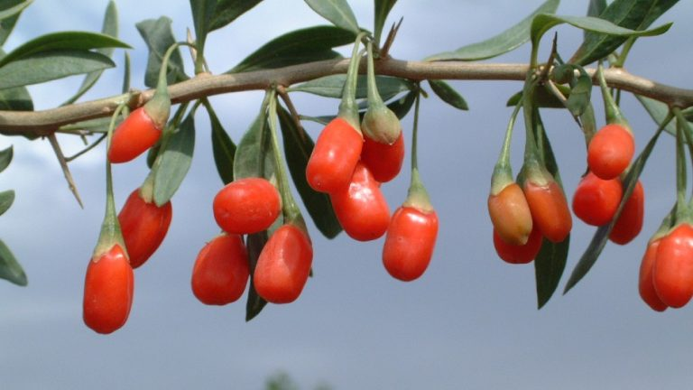 Goji Berry Growing: Soil, Maintenance, Harvest, Storage, Drying, Benefits and More