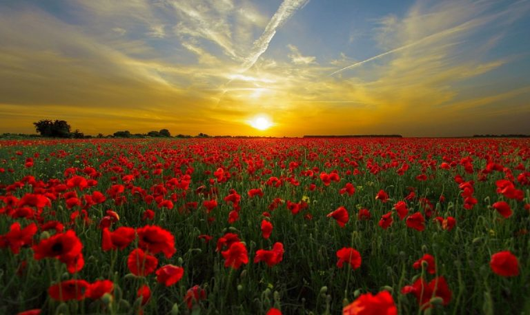 Poppies Growing: Planting, Maintaining, Sowing, Harvesting, Soil, Seeds, Varieties and more about Poppy