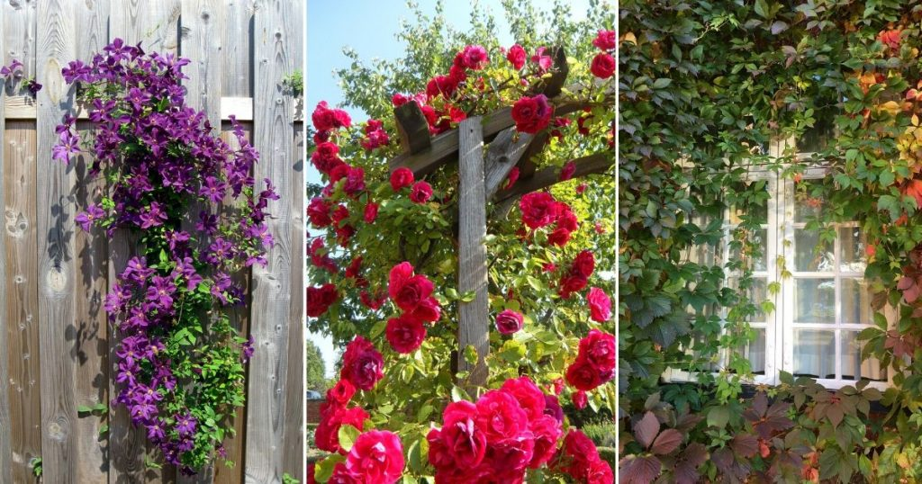 7 Climber Plants Ideal for Balcony