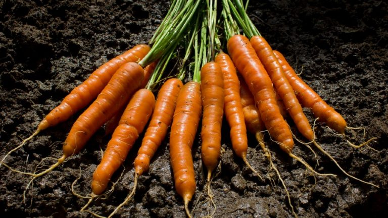Carrots Growing: Planting, Sowing, Harvesting, Soil, and more