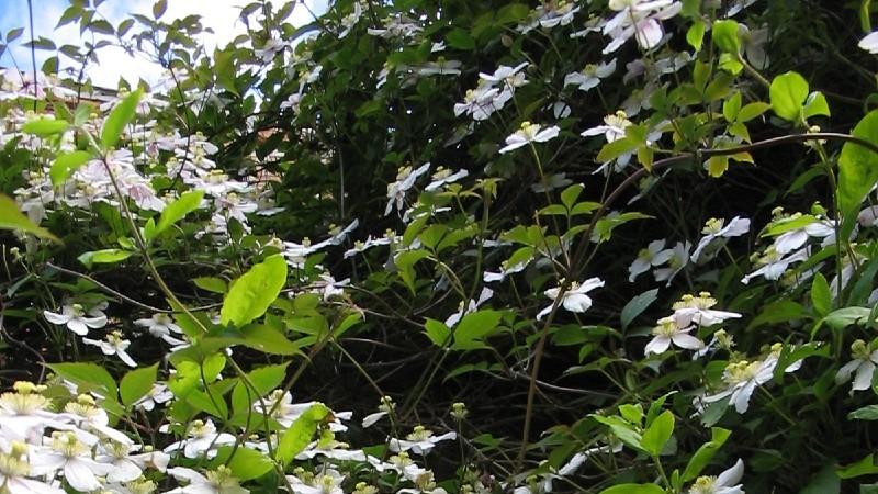10 Easy Growing Climbing Plants