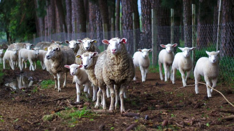 What's the Difference Between a Lamb and a Sheep?