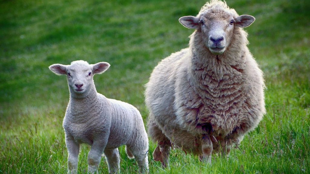 Why Do People Eat Lamb And Not Sheep?