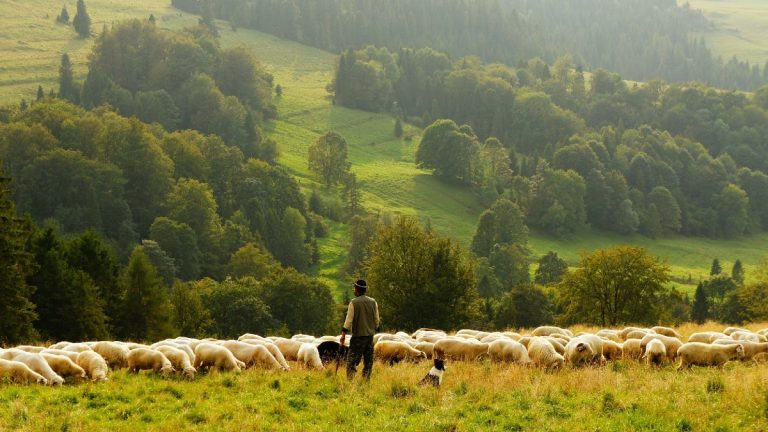 Can Sheep Live Without a Shepherd?
