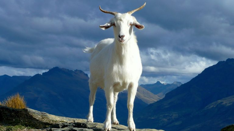 5 Largest Goat Breeds