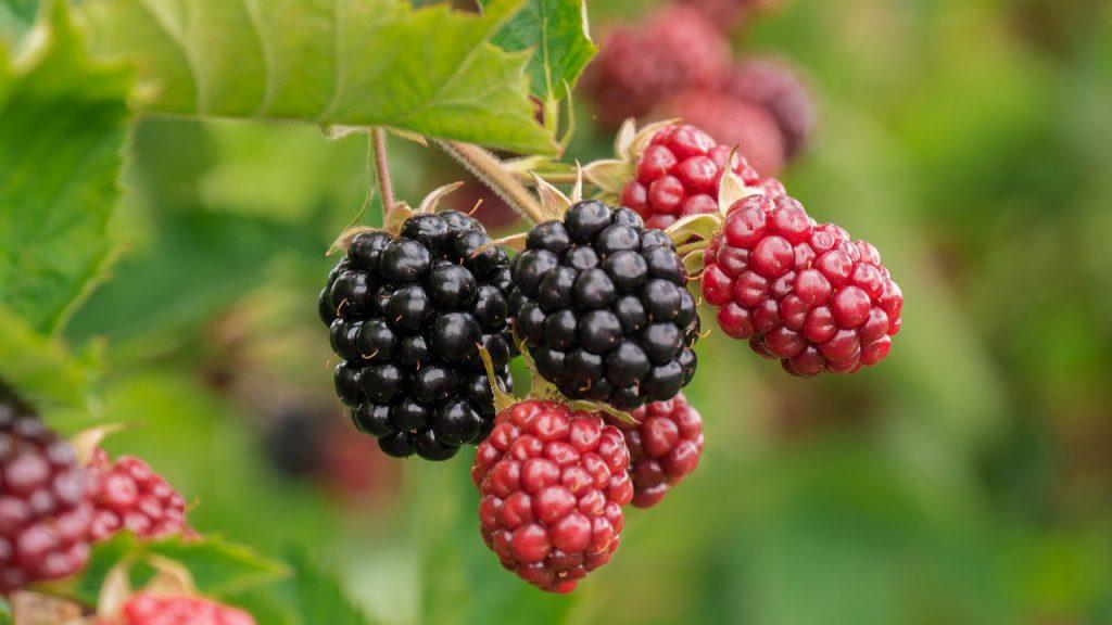 Are Brambles (Blackberry Bushes) Carnivorous?