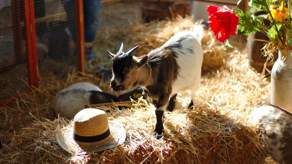 Caprine Arthritis Encephalitis Virus (CAE) in Goats