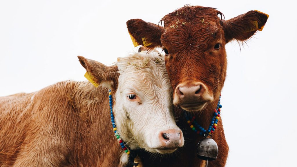 What Is the Difference Between Cow and Cattle?