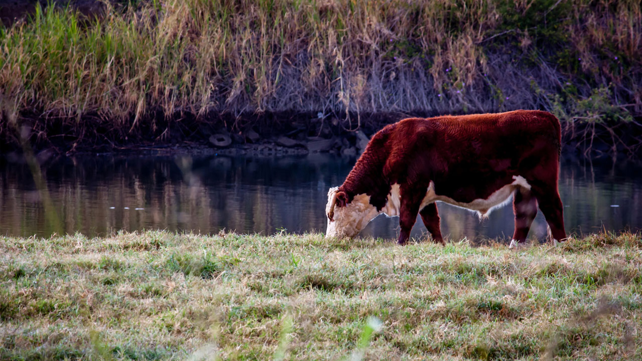 What Is the Difference Between Cow and Heifer?
