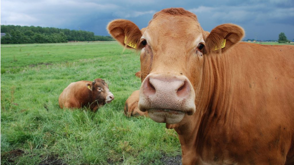 What Is the Difference Between Ox and Cow?