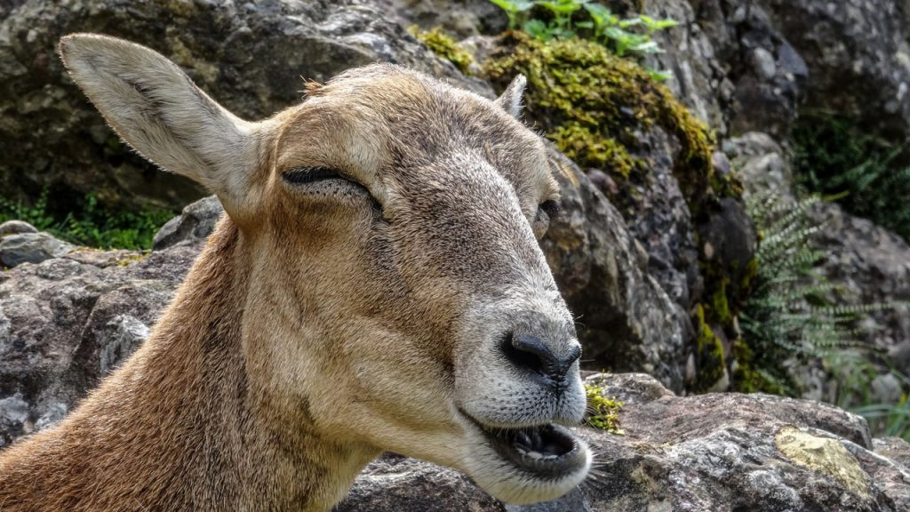 Why Do Goats Poop Pellets?
