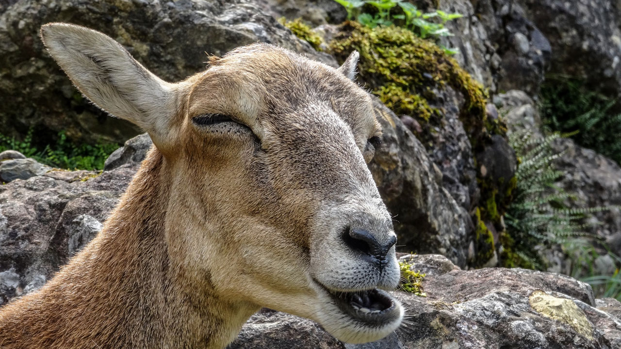 Why Do Goats Poop Pellets?