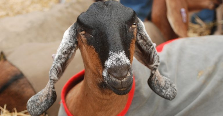 Anglo-Nubian Goat: Everything You Need to Know About Them