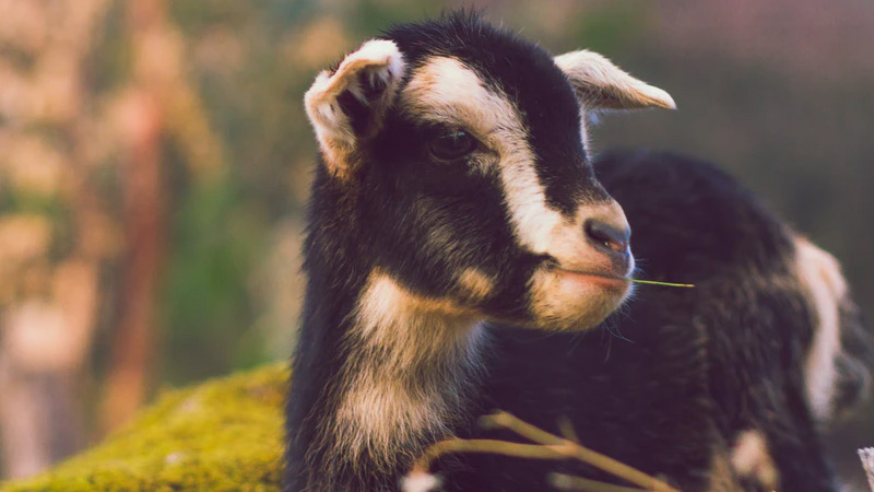 Pygmy Goat: Everything You Need to Know About Them