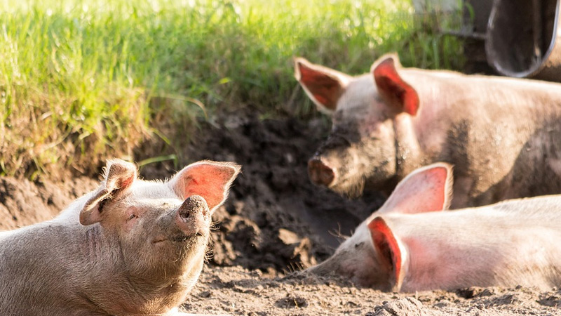 How to Raise Feeder Pigs?