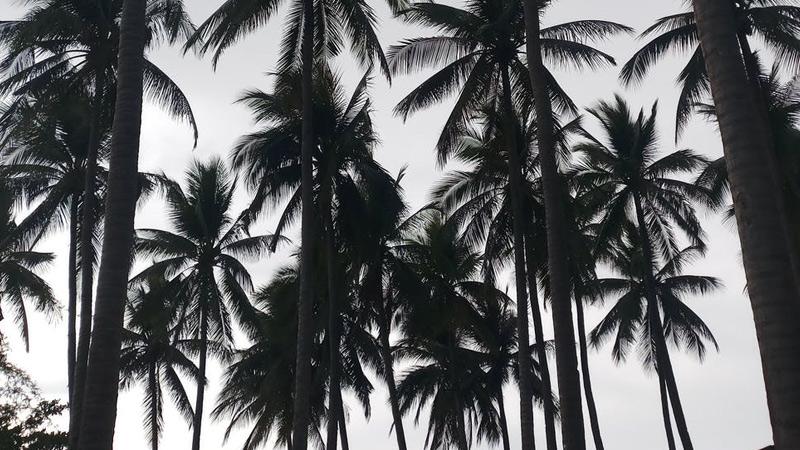 How Fast do Palm Trees Grow